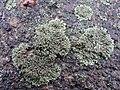 Phaeophyscia orbicularis 107170105.jpg