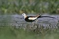 Pheasant-tailed Jacana**.jpg