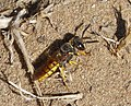 Philanthus species (32058858174).jpg