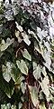 Philodendron erubescens - Habitus.jpg