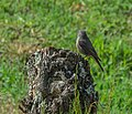 Phoenicurus ochruros in Aveyron (2).jpg