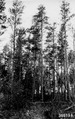 Photograph of a 40 Year-Old Stand of Jack Pine - NARA - 2128445.tif