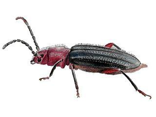 <i>Phymatodes</i> Genus of beetles