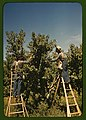 Pickers in a peach orchard, Delta County, Colo. LCCN2017877606.jpg