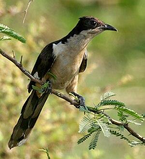 Sanjeevaiah Park - Pied crested cuckoo