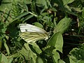 Pieris napi - Green-veined white - Брюквенница (41177909441).jpg