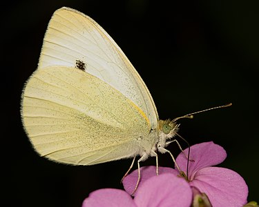 """Pieris rapae butterfly. Commonly called """"cabbage white"""" in the U.S. Midwest."""
