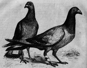 Pigeon post - Wikipedia