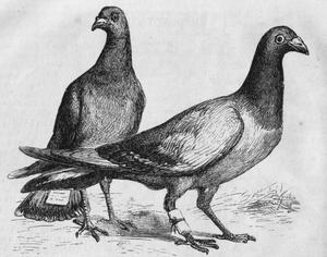 "Engraving of ""carrier pigeons"" (actu..."