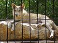 PikiWiki Israel 12902 Wolf.jpg