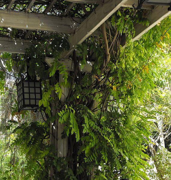 צמחיית פרגולה