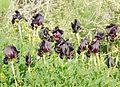 PikiWiki Israel 29406 Plants of Israel.JPG