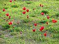 PikiWiki Israel 34506 Plants of Israel.JPG