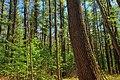 Pine Swamp (2) (8719741112).jpg