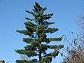 Pine Tree - panoramio.jpg