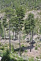 Pine trees on Corsica 02.jpg