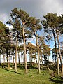 Pine trees on Doorpool Hill - geograph.org.uk - 750528.jpg