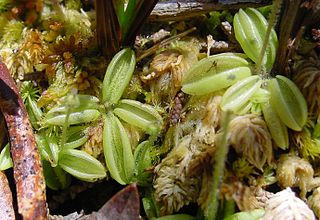 <i>Pinguicula lusitanica</i> carnivorous plants of Europe and Africa