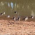 Pink-eared duck Burke River Boulia Queensland P1030187.jpg