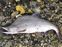 pink salmon wikipedia