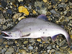 Pink salmon - Alaskan pink salmon in its freshwater spawning phase.