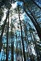 Pinus - panoramio.jpg
