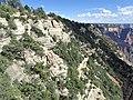 Pinus edulis kz17.jpg
