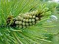Pinus monticola youngpollencones.jpg