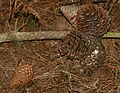 Pinus radiata (Monterey Pine) - cones - Flickr - S. Rae.jpg