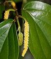 Piper kadsura (flower female).jpg