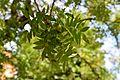 Pistacia chinensis in Jardin des Plantes de Toulouse 02.jpg