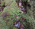 Plagiothecium undulatum - Waved Silk-moss at Balmaha.JPG