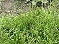 Plantago coronopus1.jpg
