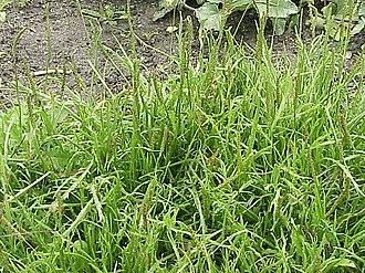 Plantago coronopus - Image: Plantago coronopus 1