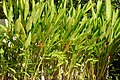 Platanillo (Heliconia psittacorum) (14558843277).jpg