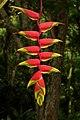 Platanillo (Heliconia rostrata) (14233496560).jpg