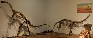Plateosauridae - Mounted skeletons of Plateosaurus engelhardti from the Trossingen Formation of southern Germany, mounted in the Institute for Geosciences Tübingen.