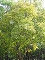 Platycarya strobilacea4.jpg