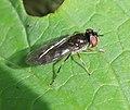 Platycheirus albimanus - Flickr - S. Rae.jpg