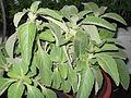 Plectanthus barbatus-ANNA park-yercaud-salem-India.JPG