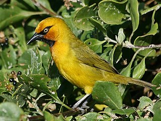 Spectacled weaver species of bird