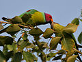 Plum-headed Parakeet (Psittacula cyanocephala) in Hyderabad W2 IMG 4531.jpg