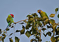 Plum-headed Parakeet (Psittacula cyanocephala) in Hyderabad W IMG 4527.jpg