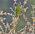 Plum-headed Parakeet (Psittacula cyanocephala) in Kawal WS, AP W IMG 1590.jpg