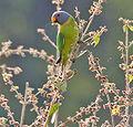 Plum-headed Parakeet (Psittacula cyanocephala) in Kawal WS, AP W IMG 1590.jpg