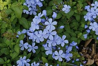<i>Plumbago auriculata</i> species of plant