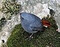 Plumbeous Water Redstart (Male) I IMG 6640.jpg