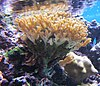 Pocillopora damicornis at Waikiki Aquarium.jpg