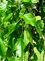 Podlaskie - Suprasl - Kopna Gora - Arboretum - Morus alba 'Pendula' - branch.JPG