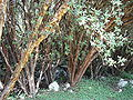 Polylepis racemosa trees.JPG